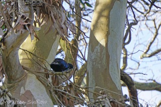 Tui in a gum tree