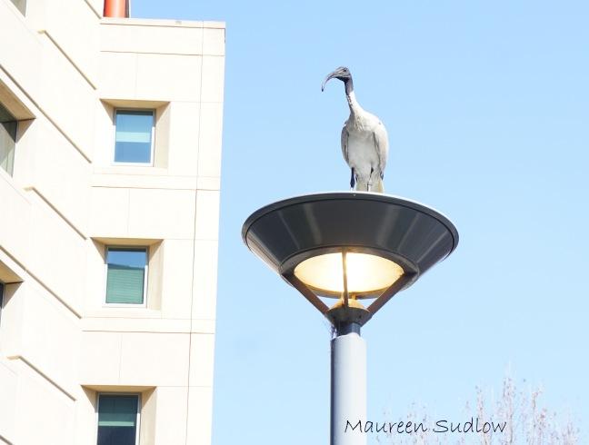 Australian ibis five