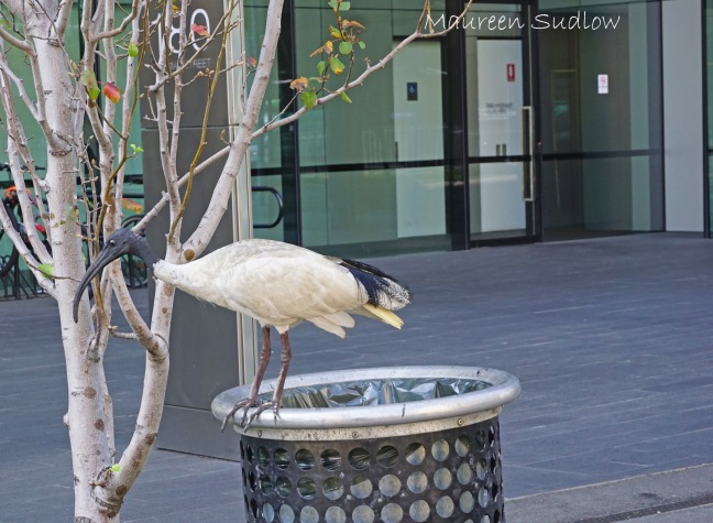Australian ibis three
