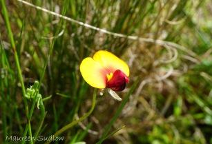 wildflower bookleaf pea