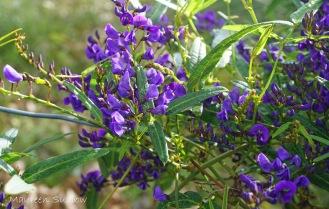 wildflower peaflower or tree hovea