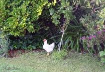 morning walk chicken