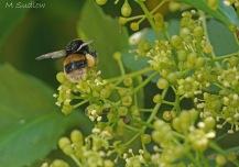 bumblebee three