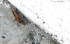 locust three