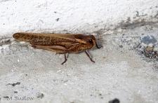 locust two