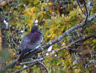 winter kereru two
